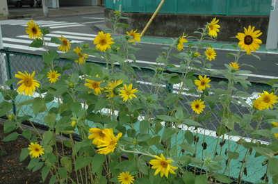 20110822sunflower