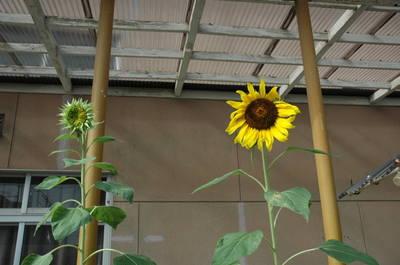 20110824sunflower