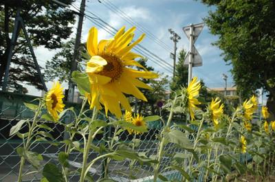 20120810sunflower
